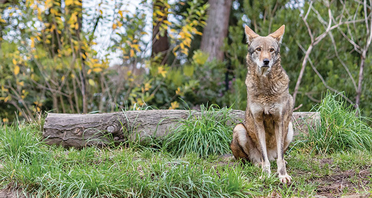 Red Wolf Facing Extinction