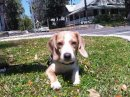 Dempsey the Beagle puppy