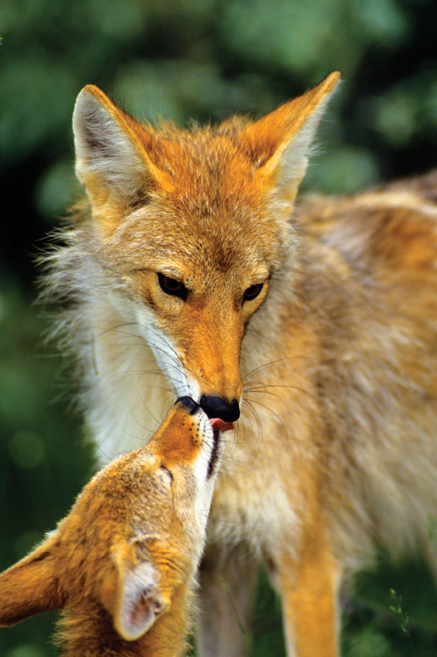 Coyote: Friend or Foe. The ecological impact