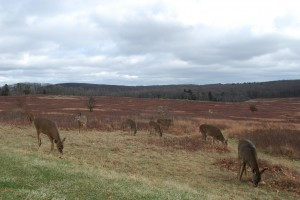 Deer at Big Meadows