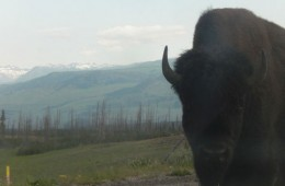Is the buffalo your power animal?