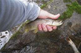 Southern Trout