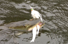 Fly fishing for musky