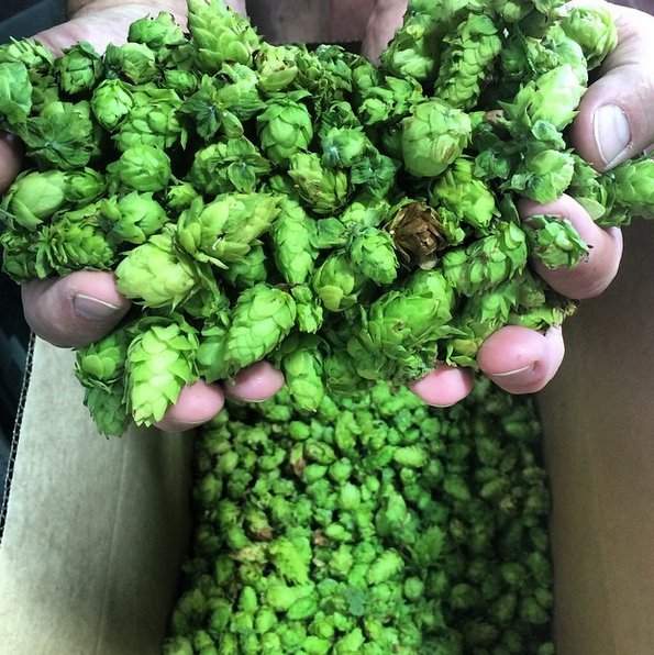 lickinghole_creek_hop_harvest