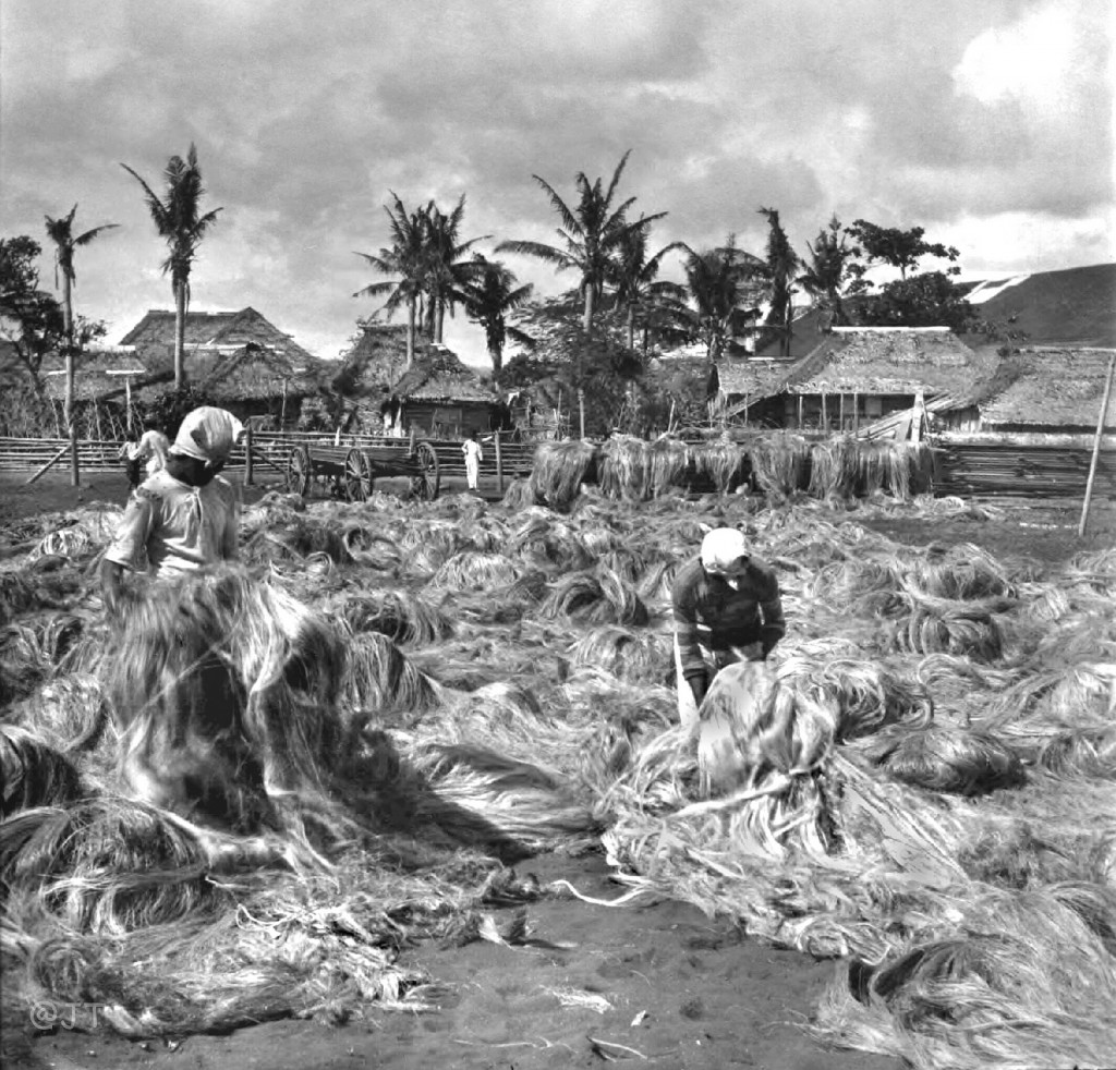 Hemp cultivation in the Philippines in the early 20th century.