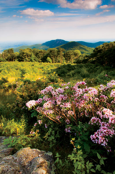 Mountain laurel at Thoroughfare Overlook, on Skyline Drive in Sh