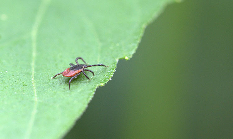Also Know As The Deer Tick