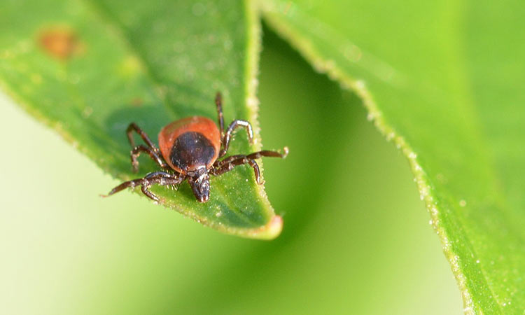Deer Tick Lyme Disease