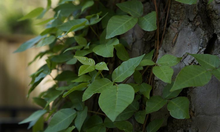 Poison Ivy Identification