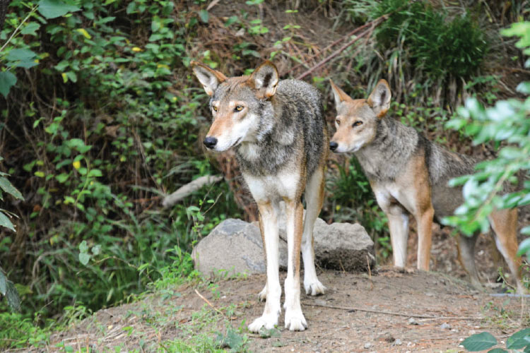 This Is a Death Sentence for Red Wolves.
