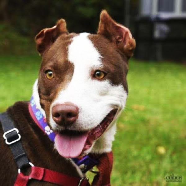 Pit Bulls make great outdoors companions.
