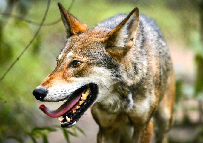 wonderful-close-shot-of-the-beautiful-red-wolf-canis-rufus-680x544