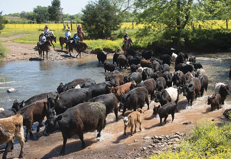 Cattle Drive Weekend at Andora Farm