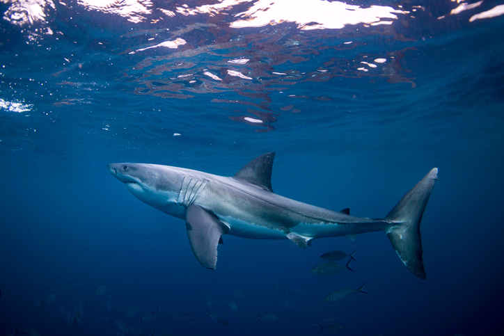 Outdoor Updates: Great white sharks identified off of the North Carolina coast