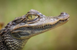 Florida woman attempts to smuggle an alligator in her yoga pants