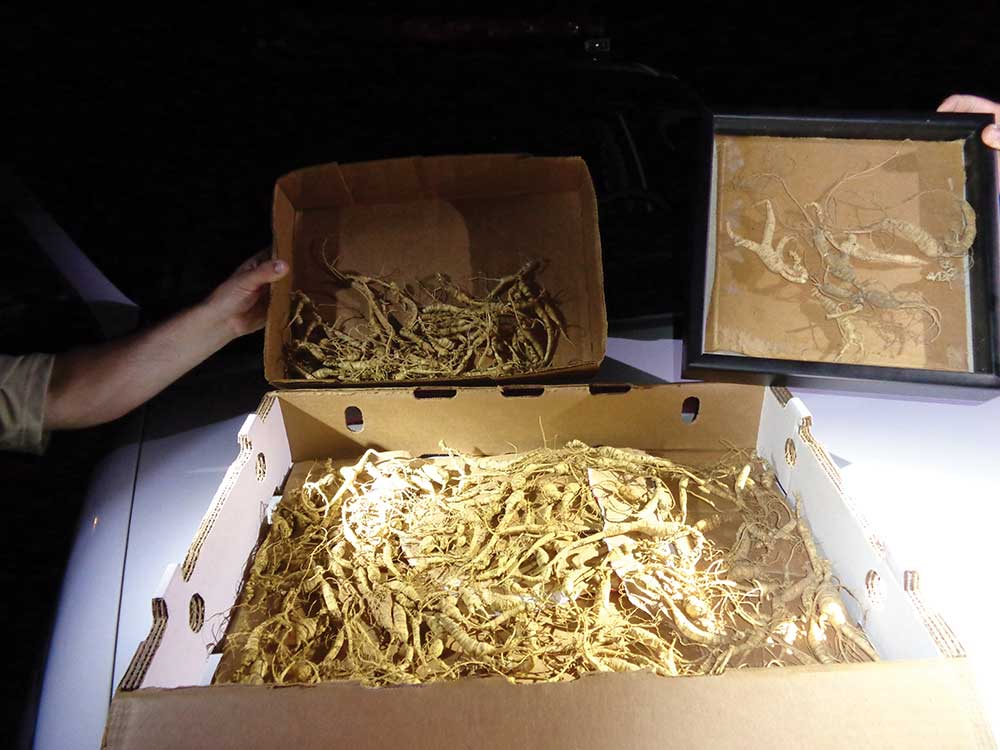 Wild ginseng root can fetch thousands of dollars per pound.
