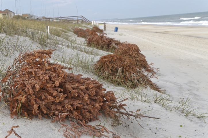 Recycled Christmas trees line the beach shoring up sand dunes and preventing erosion as the wind covers them with sand and turns them into dunes