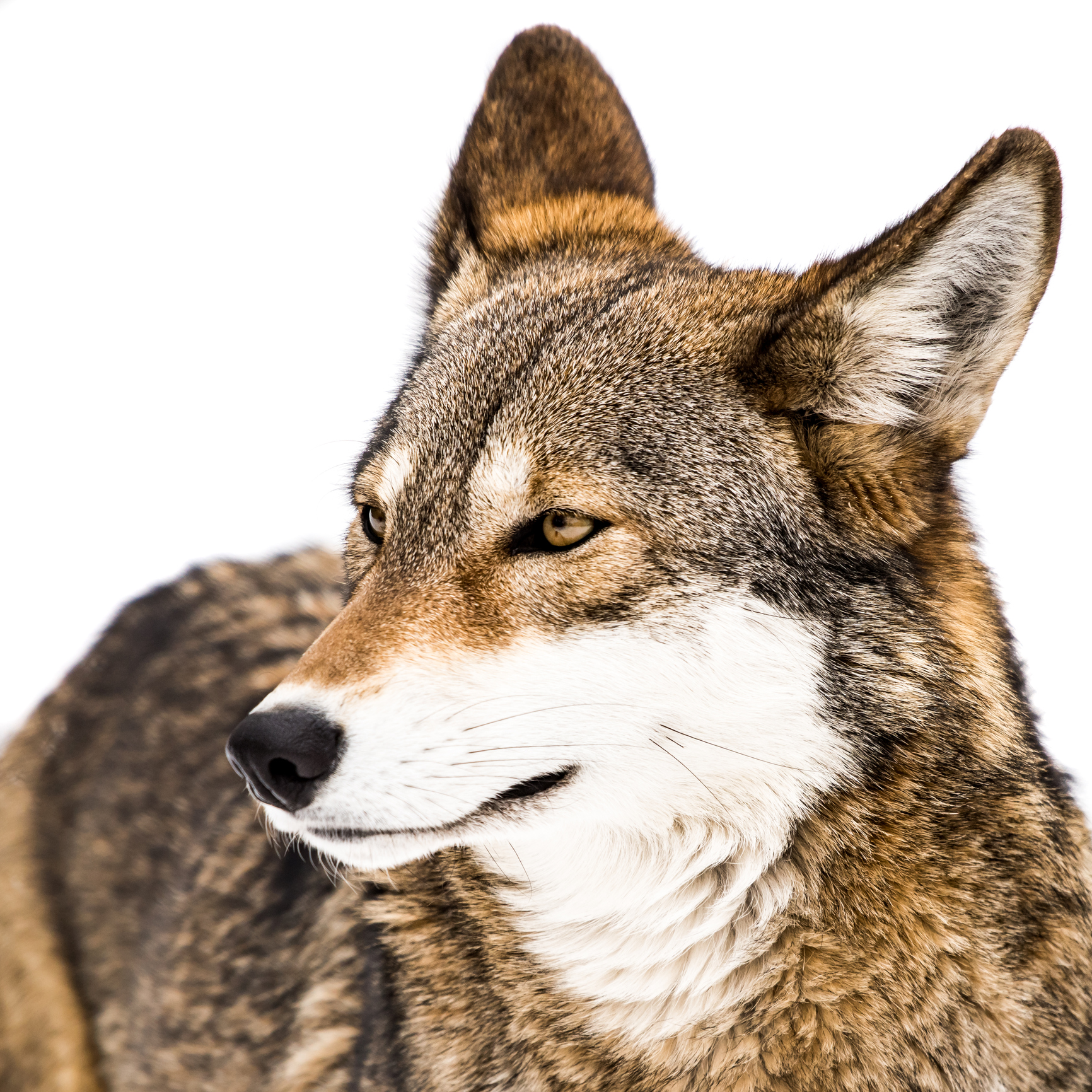 Profile Portrait of Red Wolf Against White Background