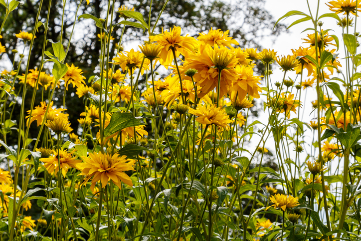 Cutleaf Coneflower Rudbeckia lacinata blooming in garden, sunny day, summer time in Sweden