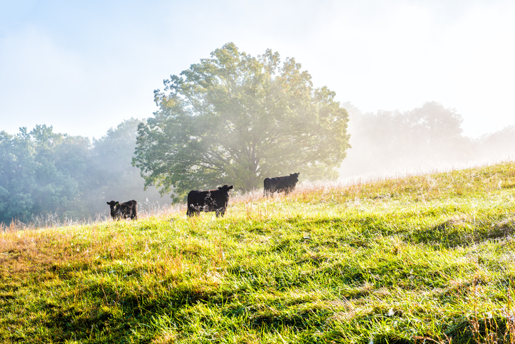Silhouette of three black cows on hill of farm grazing on pasture in fog and mist with blue sky, trees, grass, morning sunlight