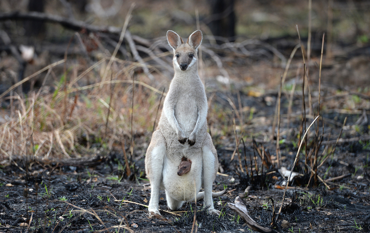 A Whiptail Wallaby, macropus parryi, kangaroo with a baby joey in her pouch standing in recently burned out Australian outback bushland.